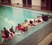Frenchie swim team
