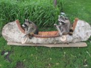 Romantic Raccoons