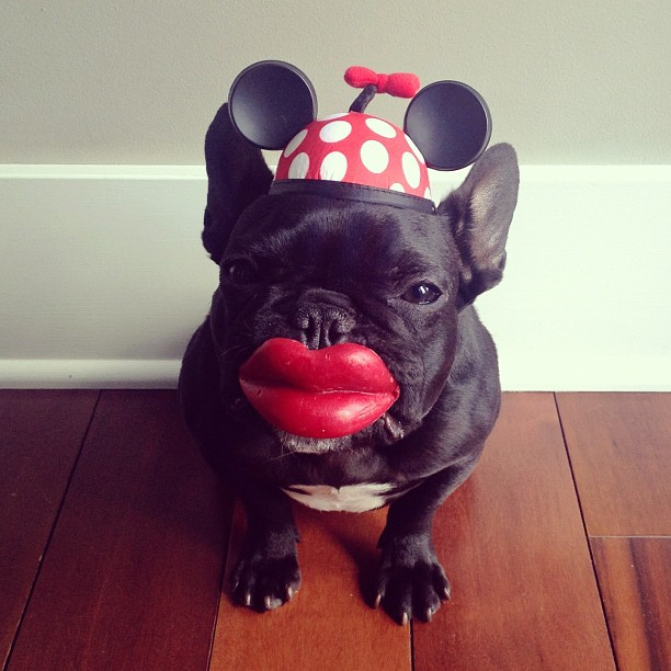 The Hipster French Bulldog