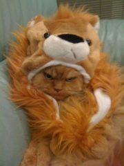 Grumpy lion cat