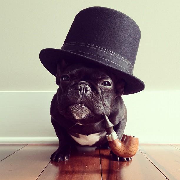 Most Dapper French Bulldog
