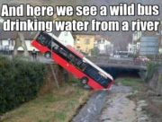 Wild bus drinking water from a river