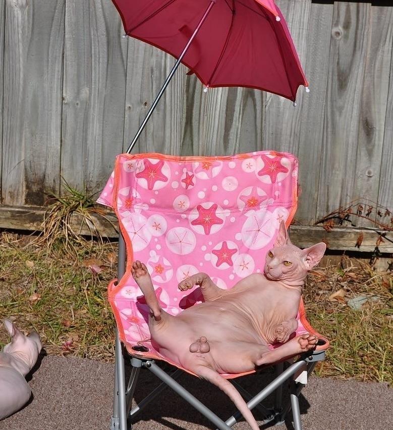Sphynx cat sunbathing