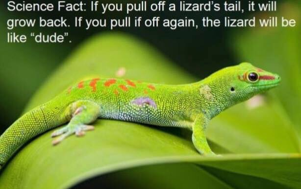 If you pull off a lizard's tail…