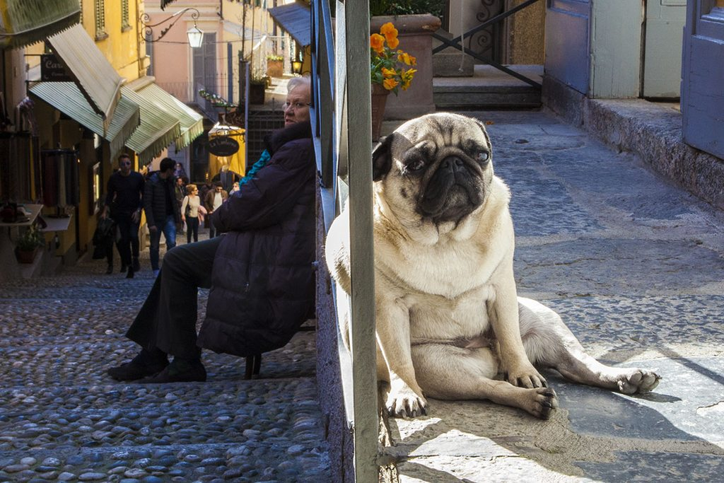 Adorable pug relaxes harder than anyone has ever relaxed…