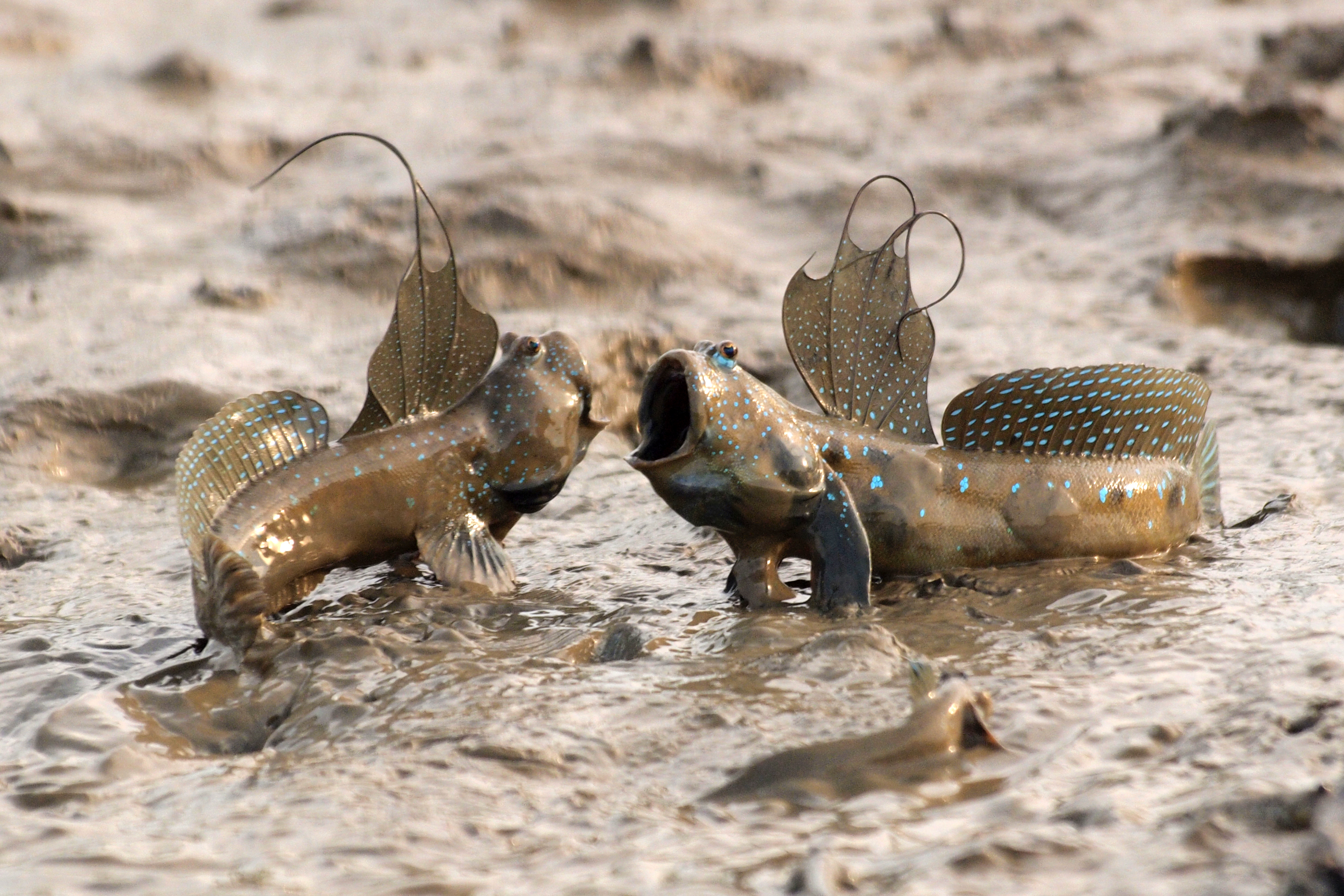 Mudskippers argue over a territory