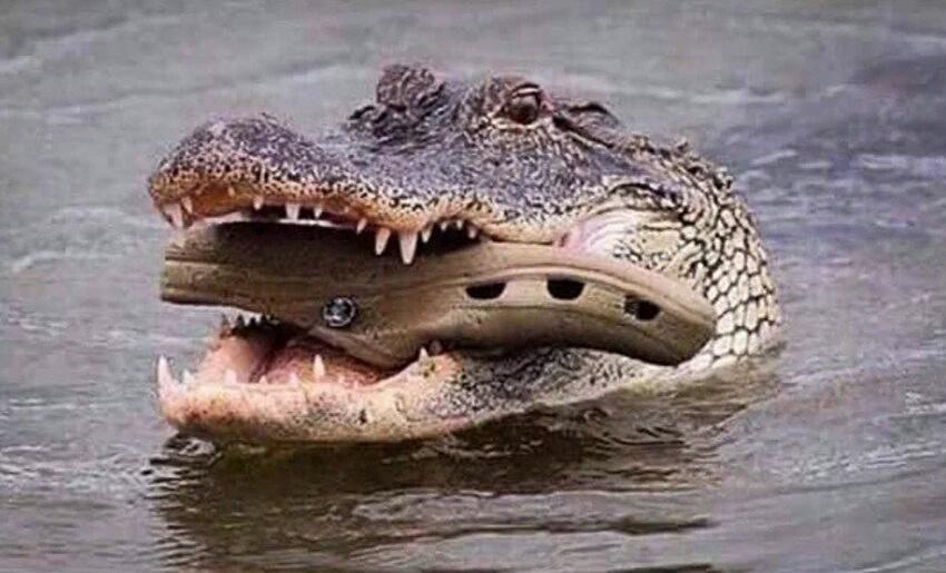 crocodile carrying baby croc