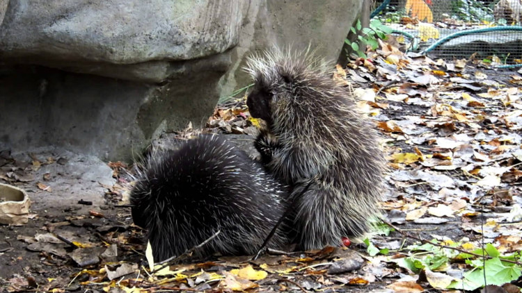 A male porcupine douses the female with his urine to provoke her into having sex.