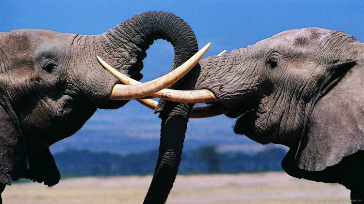 Elephants are often bisexual creatures. Almost 45% of their sexual activity happens between the same sex.