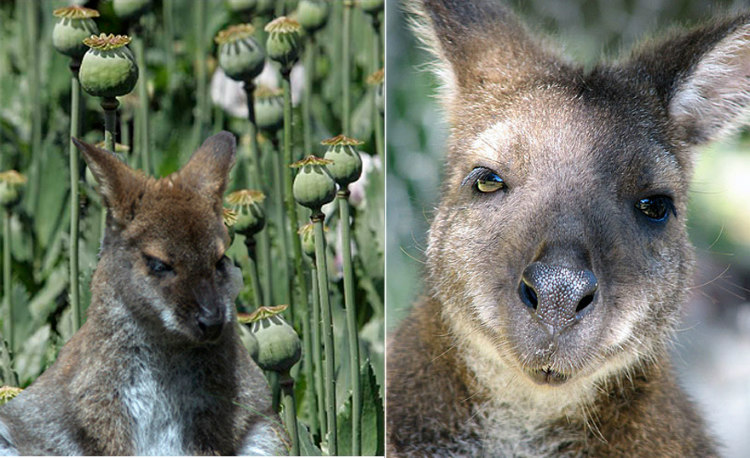 After ingesting opium poppies, Australian wallabies have made crop circles in the field grown for medicine.