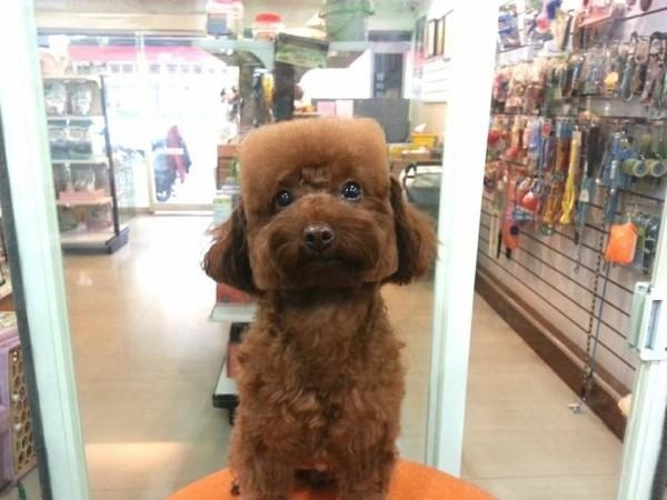Cube dog haircut trend in Japan #2