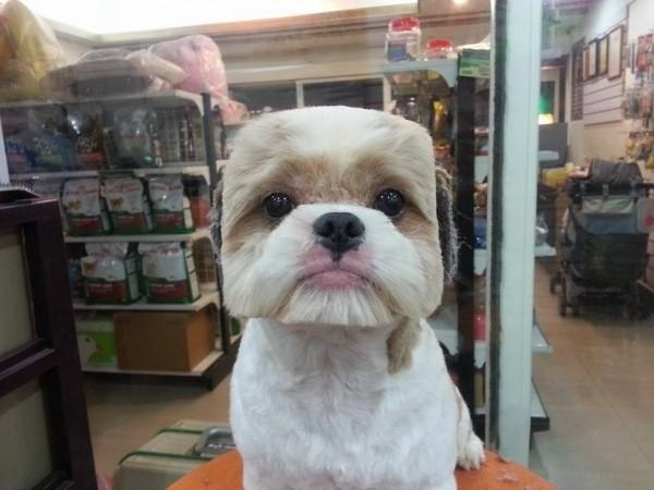 Cube dog haircut trend in Japan #4