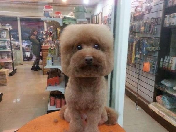 Cube dog haircut trend in Japan #5