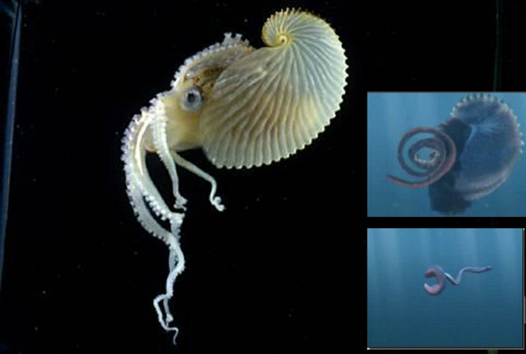 Argonaut, a variety of octopus, has a detachable penis that swims to the substantially larger female's sac.