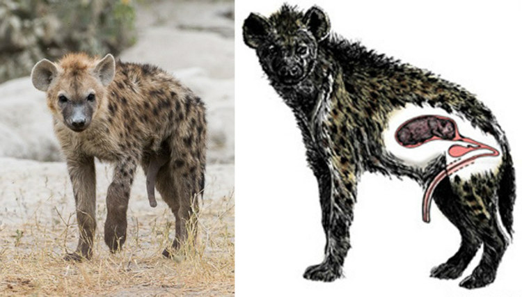 Female spotted hyenas have penises that serve as an anti-rape mechanism. The male has to enter through it during copulation rather than the vagina.