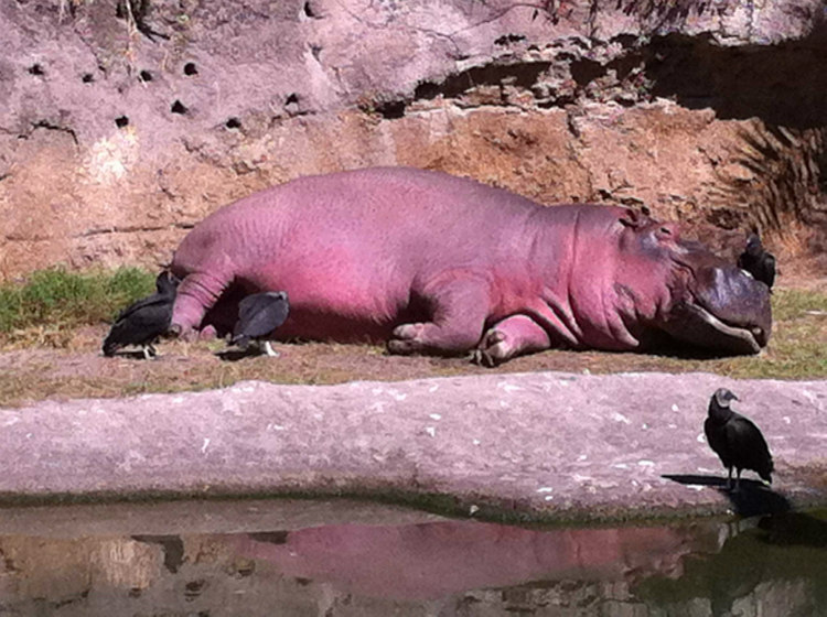 Hippopotamuses secrete an oily red liquid that acts as sunblock and moisturizer. Despite what most people think, they do not sweat blood.