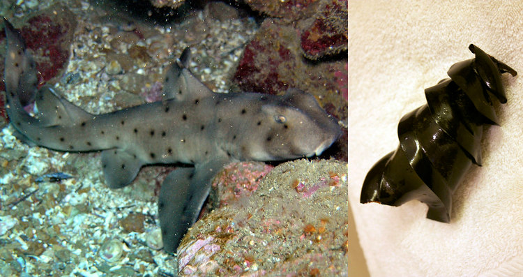 Horn sharks make egg cases that look like huge corkscrews to protect her offspring. She fixes the corkscrew eggs into rocks to make it hard for predators to get at them.