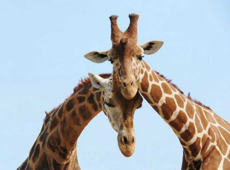 Male giraffes often drink the urine of a female to determine if she is fertile in a process known as flehmen response.