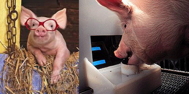 Researchers at Penn States University have found that pigs can play video games using joystick and excel at it. They were said to enjoy it so much they'd beg to play.