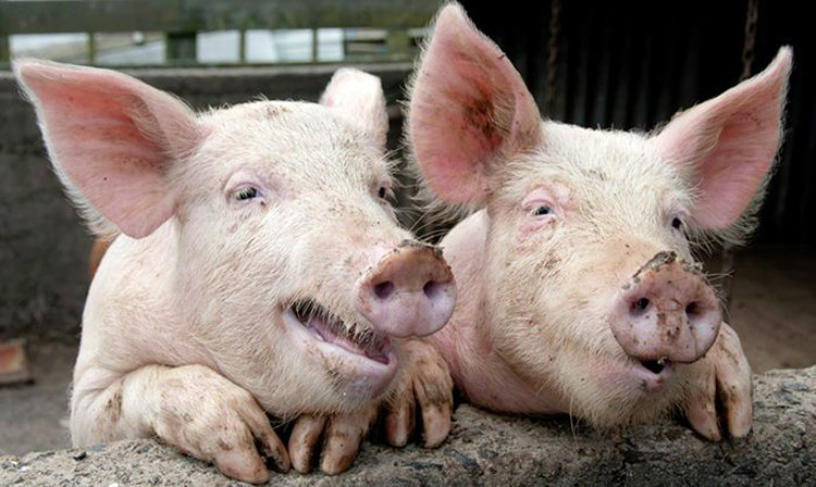 Pigs can ejaculate for up to a surprising 6 to 30 minutes continuously.