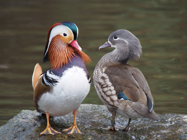 An estimated one third of all sex among ducks is forced sex. It is so prevalent that the females' genitals are evolving to counter it.