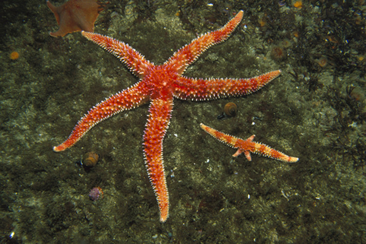 The blood of starfishes is just filtered seawater. They have no brains and their nervous system is spread through their arms.