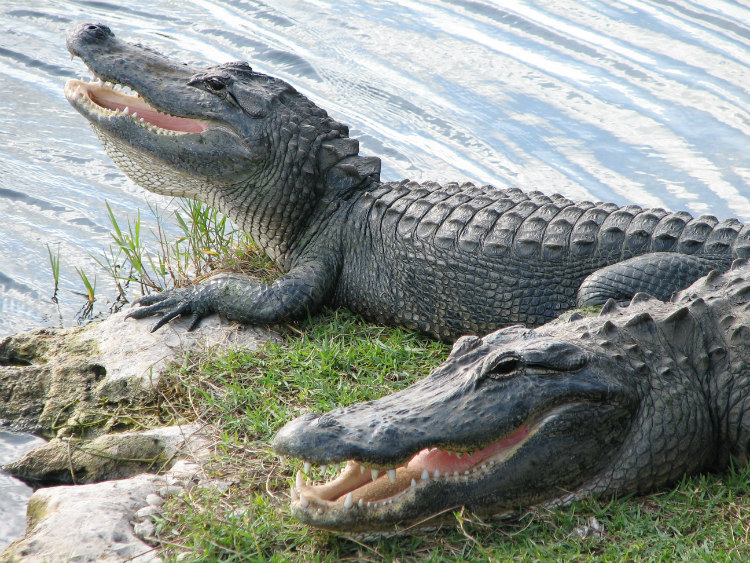 The penises of male alligators are always erect. They stay inside their body until they are needed.