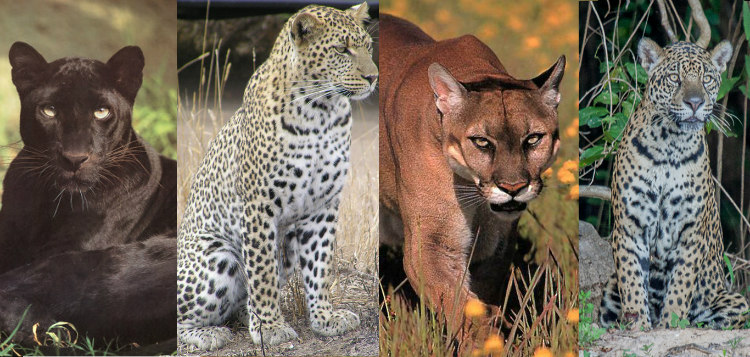 Black Panthers, jaguars, leopards and cougars are actually the same species of animals. Black Panthers are black due to Melanism, the development of dark pigmentation.