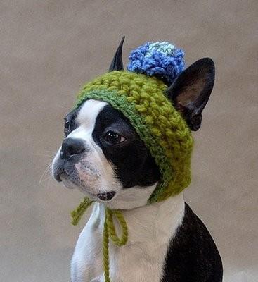 Boston Terrier in a fancy hat