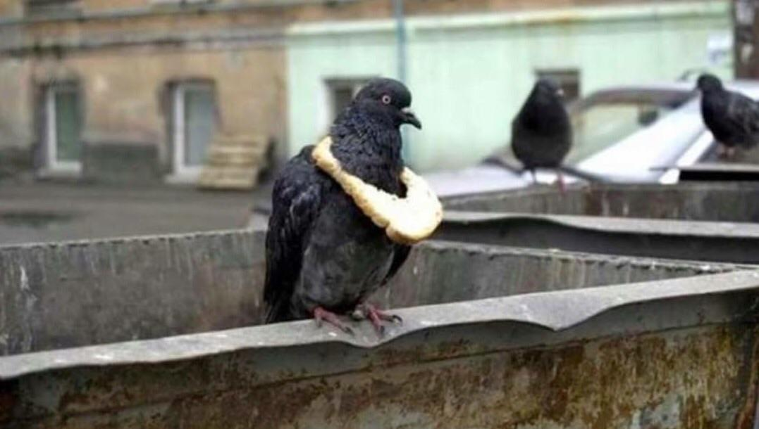 A symbol of wealth in the pigeon community