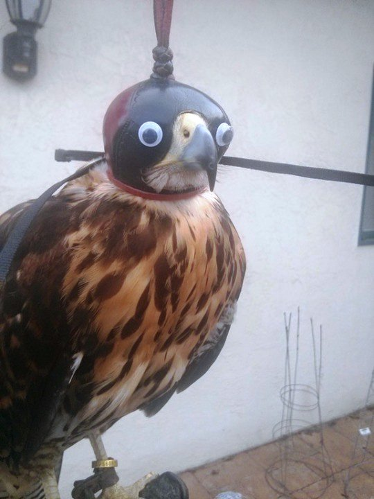 Adding googly eyes to falconry hoods makes them 100% better