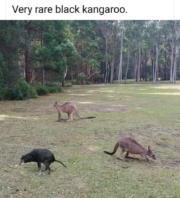 Very rare black kangaroo