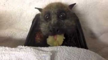 Feeding a bat with grapes, strange pet
