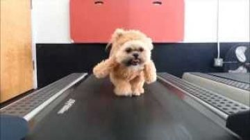 Munchkin the Teddy Bear gets her exercise (real life Ewok)